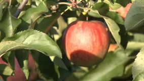 Apple in tree - rack focus. Rack focus shot on a dark red apple hanging in a tree, going from soft to sharp stock video footage