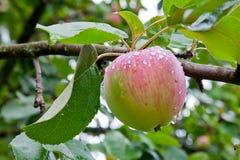 Apple tree after rain Royalty Free Stock Image