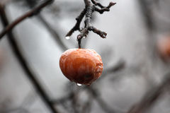 Apple on the tree in the rain Royalty Free Stock Images