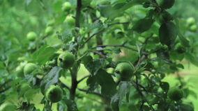 Apple tree in the rain stock video