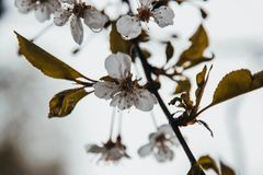 Apple tree after the rain, it smells fragrant royalty free stock photos