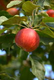Apple tree. Read aplle with lefes on a tree Royalty Free Stock Images