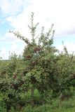 Apple tree. Ready for harvest in fall in Southern Quebec royalty free stock images