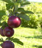 Apple tree red Stock Image