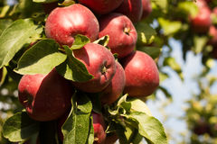Apple on a tree Royalty Free Stock Photography