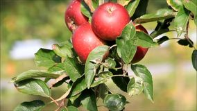 Apple tree with red apples stock footage