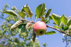 Apple tree with red apples. The apple tree in the garden. Summer garden fruits. Green apples on the tree. Harvest of apples. Red a Stock Photography