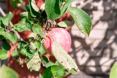 Apple tree with red apples. The apple tree in the garden. Summer garden fruits. Green apples on the tree. Harvest of apples. Red a Stock Photo