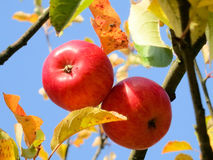 Apple on tree. Red apples in autumn Royalty Free Stock Images