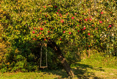 Apple tree with red royalty free stock image