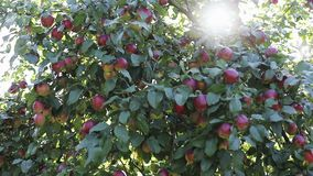 Apple tree with red apples on branches in sun glare. Lens flare stock video
