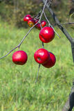 Apple tree with red apples Stock Photos