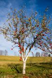Apple tree with red fruits Stock Photos