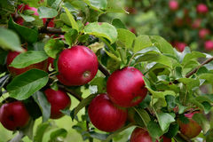 Apple-tree Royalty Free Stock Photography