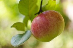 Apple tree. Red green apple fruit tree Royalty Free Stock Photos
