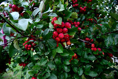 Apple. An apple tree with red , sweet and pomaceous fruits hanging on stock photography