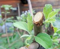 Apple Tree Regrowth Healing After Pruning. This is a close picture of an apple tree growing new leaves after being pruned. It can represent the concepts of stock images