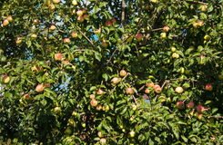 Apple tree with ripe apples in autumn Royalty Free Stock Image