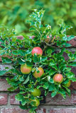 Apple tree with ripened apples in an orchard Stock Photo