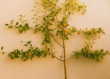 Apple tree with ripened red apples on wall. Horizontal photo, photo took in New Zealand, photo is usable on picture post card, calendar, gardening Royalty Free Stock Photos