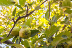 Apple tree, romanian horticulture Stock Image