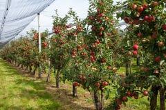 Apple tree row Stock Image