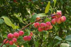Apple tree  with ruddy ripe fruits. Stock Image