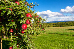 Apple tree´s Stock Images