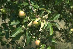 Apple tree with several ripening apples. Malus pumila, malus communis, malus domestica, malus frutescens, malus paradisiaca, malus sylvstris. A few leaves show Royalty Free Stock Photo