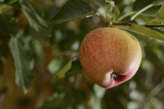 Apple on the tree Royalty Free Stock Photography