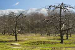 Apple tree skeletons frame snow capped mountains. Stock Photography