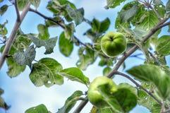 Apple tree. Apple, tree, sky stock photography