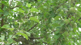 Apple tree with small green fruit. In full HD stock video