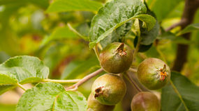 Apple tree with small growing apples Stock Photos
