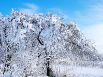 The apple tree in the snow. Snowy garden. Royalty Free Stock Images