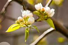 Apple tree in spring Royalty Free Stock Photos