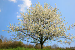 Apple tree in spring blossom Royalty Free Stock Photos