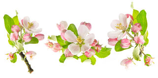 Apple tree spring blossoms isolated on white. Background. flower set Stock Photos