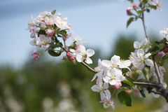 Apple tree. Spring branch of a blossoming apple tree Royalty Free Stock Image