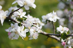 Apple tree. Spring branch of a blossoming apple tree Stock Photo