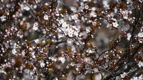 Apple Tree Spring Flowers Blossom stock video