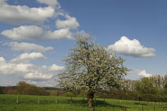 Apple tree in spring, Germany Stock Photos
