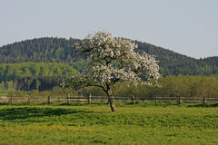 Apple tree in spring, Lower Saxony, Germany Royalty Free Stock Image