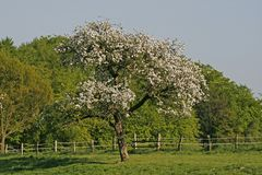 Apple tree in spring, Lower Saxony, Germany Stock Images