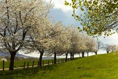 Apple tree in spring, Lower Saxony, Germany Stock Photo