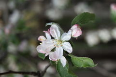 Apple tree. Spring time - beautiful apple flower 1 stock image