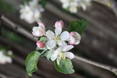 Apple tree. Spring time - beautiful apple flower royalty free stock photos
