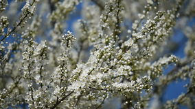 Apple Tree Spring White Flowers stock footage