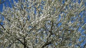 Apple Tree Spring White Flowers stock video
