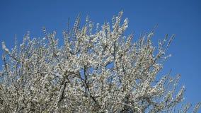 Apple Tree Spring White Flowers stock video footage